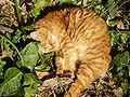 Cat by Laziale93.JPG