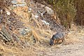 Catalina Island Fox (Urocyon littoralis catalinae) sniff.jpg