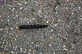 Caterpillar on footpath - geograph.org.uk - 471654.jpg