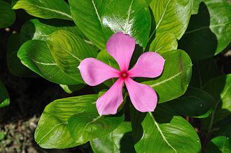 Catharanthus - Catharanthus roseus