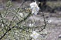 Catophractes alexandi - Trumpet thorn-2262 - Flickr - Ragnhild & Neil Crawford.jpg