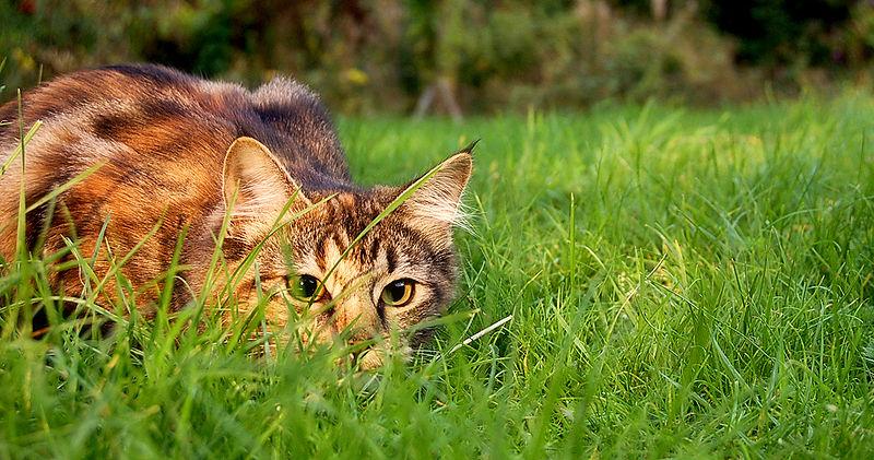 File:Catstalkprey.jpg