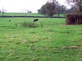Cattle, Leigh - geograph.org.uk - 1570764.jpg