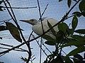 Cattle egret (7856612572).jpg