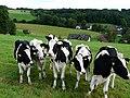 Cattle in Seifen alongside field boundary rope.jpg