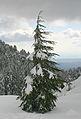 Cedrus libani brevifolia1.jpg