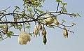 Ceiba speciosa R15.jpg