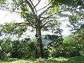 Ceiba típica de la flora de Huehuetla, Puebla 05.JPG