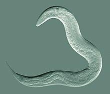 phylum aschelminthes szaporodás intraductalis papillomatosis szövettan