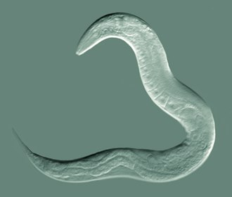Nematode - Caenorhabditis elegans,  a model species of roundworm