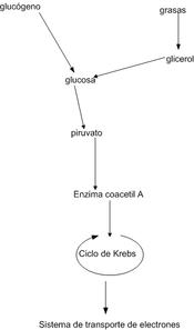 Respiración Aeróbica Wikipedia La Enciclopedia Libre
