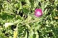 Centaurea Lagos Portugal 15.02.16 (25035529826).jpg