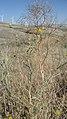 Centaurea solstitialis 2.jpg