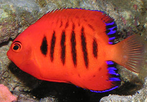 A Flame angelfish