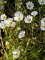 Cerastium arvense flowers (3327637816).jpg