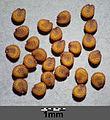 Cerastium pumilum s. str. sl19.jpg