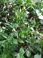 Cerastium sylvaticum sl1.jpg