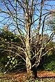 Cercidiphyllum japonicum JPG1Aa.jpg