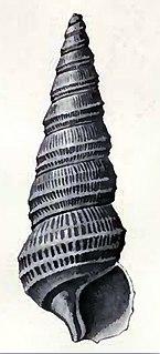 <i>Cerithiella</i> Genus of gastropods