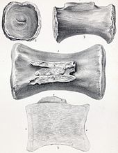 Drawing of a tail bone
