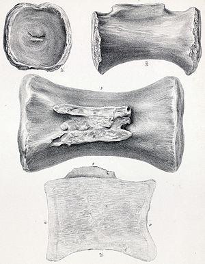 Cetiosaurus - Caudal vertebra of C. longus