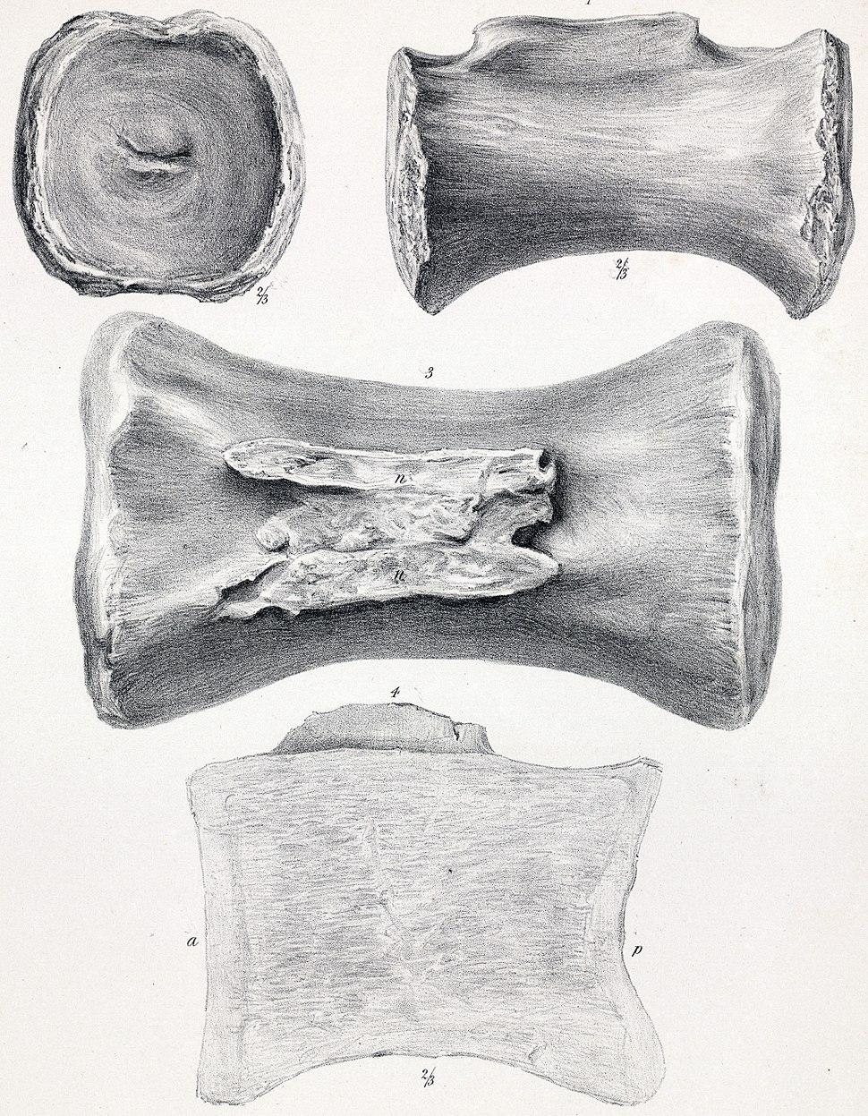 Cetiosaurus longus