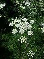 Chaerophyllum bulbosum sl22.jpg