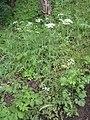 Chaerophyllum temulum plant (04).jpg