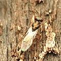 Chalcid Wasp (34396557046).jpg
