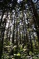 Chamaecyparis pisifera experimental forest.JPG