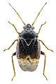 Charagochilus gyllenhalii - ZSM.jpg