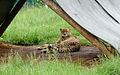 Cheetah (4300090249).jpg