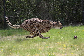 Cincinnati Zoo and Botanical Garden - An adult South African cheetah running at the Cincinnati Zoo and Botanical Garden.
