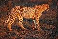 Cheetah Umfolozi SouthAfrica MWegmann.jpg