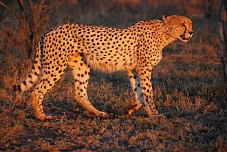 Southeast African cheetah - A cheetah at the Hluhluwe–iMfolozi Park, South Africa