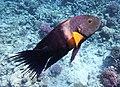 Cheilinus lunulatus im Roten Meer....DSCF8180BE.jpg