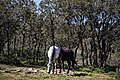 Chevaux - Chrea خيول بالشريعة - panoramio (1).jpg