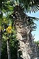Chinesische Hanfpalme (Trachycarpus fortunei) Blumengärten Hirschstetten Wien 2014 b.jpg