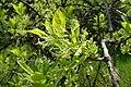 Chionanthus virginicus kz01.jpg