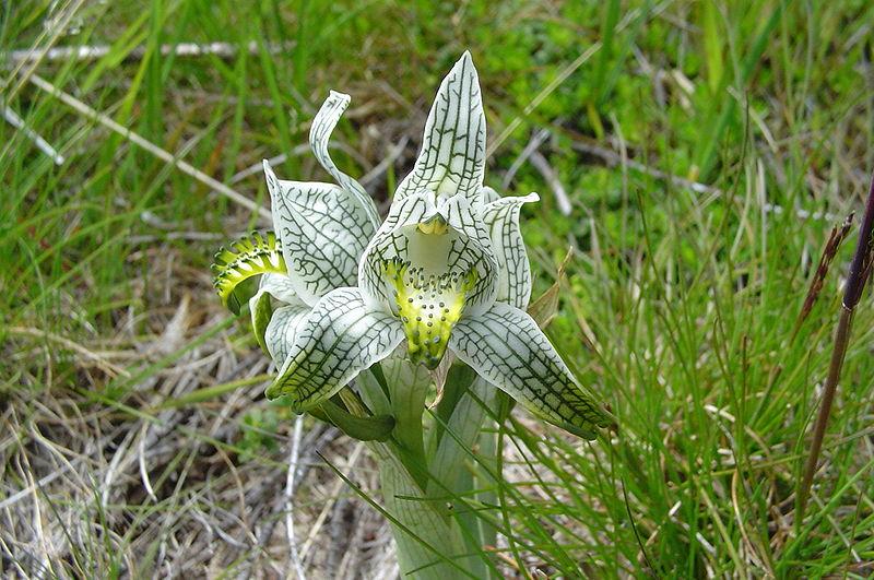 File:Chloraea magellanica.jpg