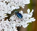 Chloromyia formosa. Broad Centurian - Flickr - gailhampshire.jpg