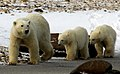 Chocolate the polar bear and her cubs (6355848825).jpg