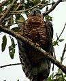 Chondroierax uncinatus (Caracolero selvático) - Flickr - Alejandro Bayer (5).jpg