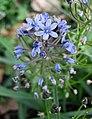 Chouardia litardierei -維也納大學植物園 Vienna University Botanical Garden- (28437540481).jpg