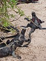 Christmas Iguanas - Marine Iguanas - Espanola - Hood - Galapagos Islands - Ecuador (4870776717).jpg