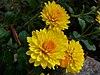 Chrysanthemums (2).jpg