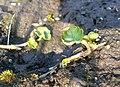 Chrysosplenium alternifolium 2017-03-28 6445.jpg