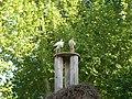 Cigognes blanches (Ciconia ciconia) (07).jpg
