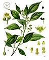 Cinnamomum camphora - Köhler–s Medizinal-Pflanzen-181.jpg