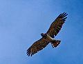 Circaetus gallicus in flight.jpg